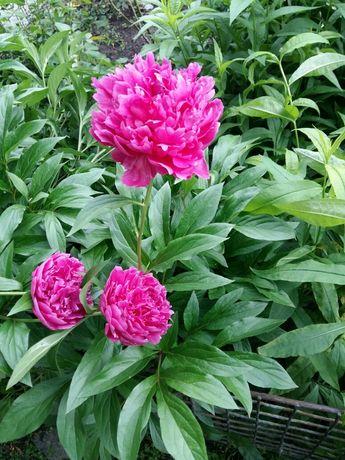 Куст цветов пиона