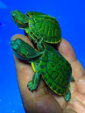 Аквариумные красноухие черепахи в «Живом Уголке»
