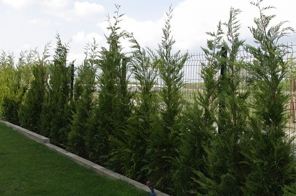 Chiparos Leyland gard viu vesnic verde
