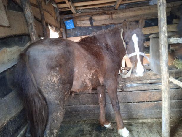 Продам откормленных лошадей можно по частям на откорме с января месяца