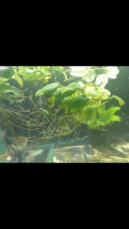 Растения анубиус