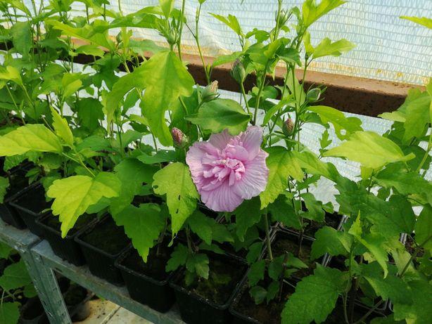 Hibiscus pentru gard viu
