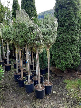 Avem plante ornamentale la cele mai bune prețuri din tara