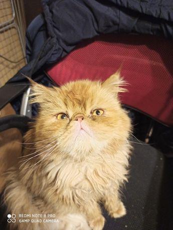 Персидский кот рыжее солнышко!