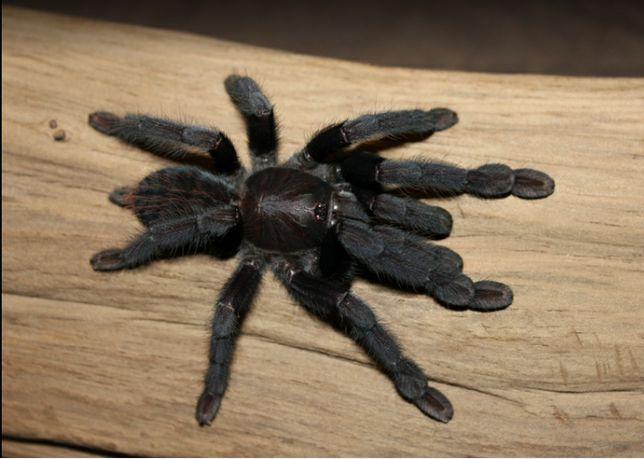 Паук птицеед Lampropelma sp. Borneo Black л 2-3