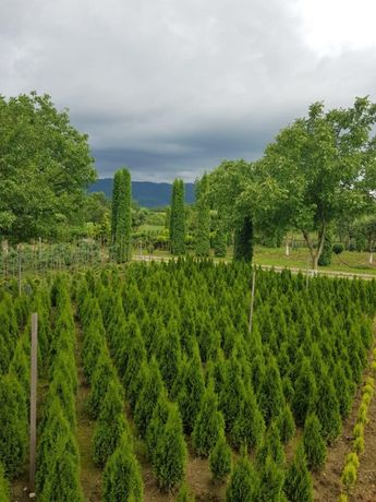 Pepiniera Tuia si Bonsai ( Arbori Ornamentali)
