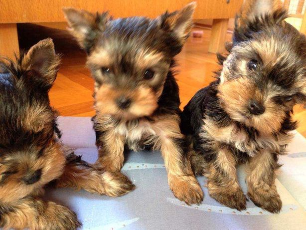 Yorkshire Terrier talie Toy