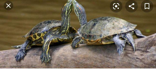 Отдам двух больших черепах