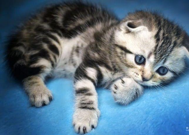 Продам чистокровных котят