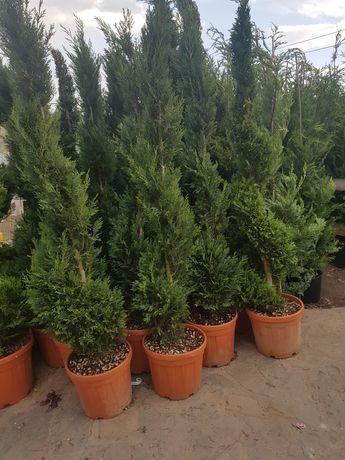 Plante si diverse pentru gard viu vesnic verde