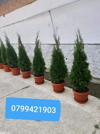 Plante ornamentale și amenajez spații verzi tuia brad mesteacăn