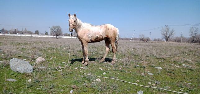 Продаю Лошадь - айгыр