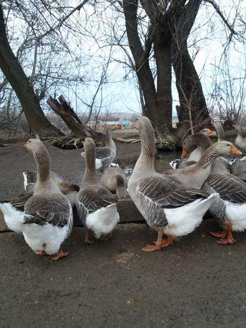 Продам гусей порода крупно серый