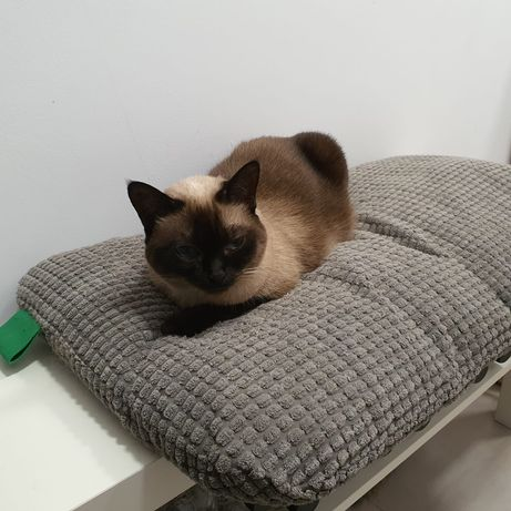 Pisica siameza pentru adoptie doar