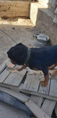 Собака ротвелер,кабель