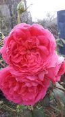 Рози-резници