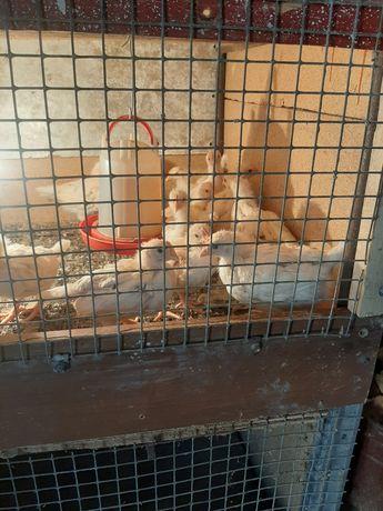 Цыплята ломан браун 25 суточные