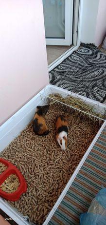Продам двух морских свинок
