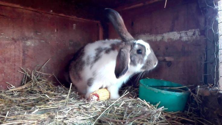 Vând iepuri/iepurași! Aricestii Zeletin - imagine 1