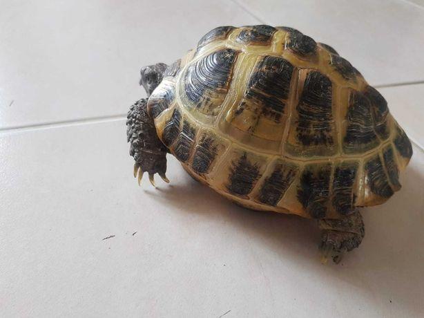 продам среднеазиатскую черепаху черепаху