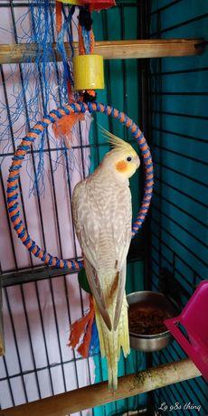 Papagali nimfâ disponibili