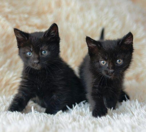 Продам двух британских котят