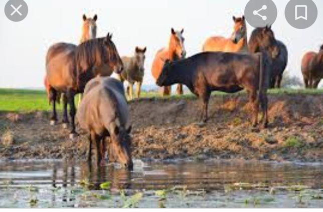 Продам лошади и скот