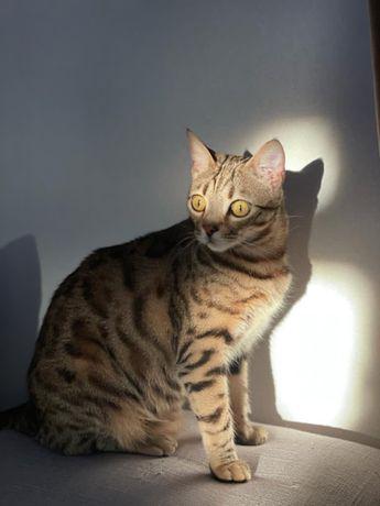 Пропал кот бенгальской породы!!!