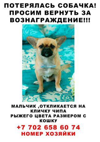 """Пропала собачка, отзывается на имя """"Чипа"""" в районе магазина ,""""Чайка"""""""
