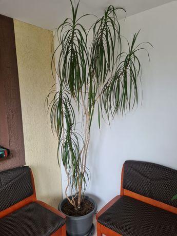 Vand planta Dracena