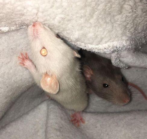 Продам Крыс
