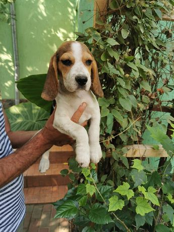 catelusa beagle foarte draguta