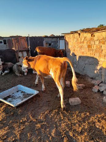 Корова сиыр продам