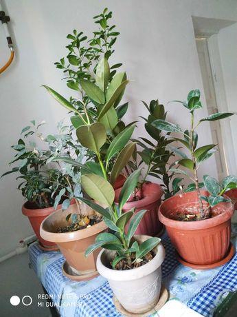 комнатные цветы, в основном фикусы