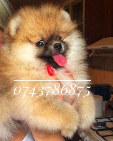 Pomeranian fetita pedigree fci