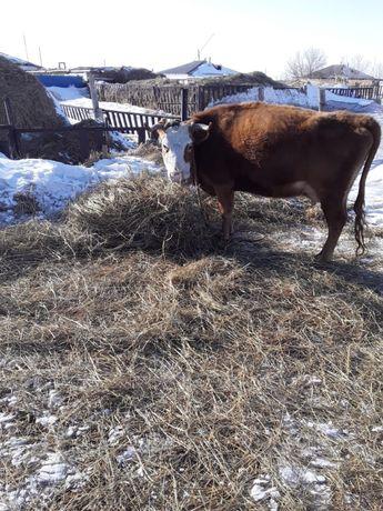 Бұзаулы сиыр, корова с теленком