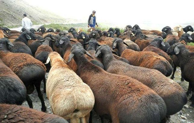 Гиссарские овцы та другие
