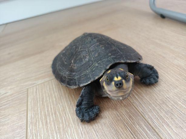 Черепаха.Желто-пятнистая черепаха