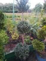 Tuia,arbori,arbusti,globuri,spirale,Chiparos Leylandii