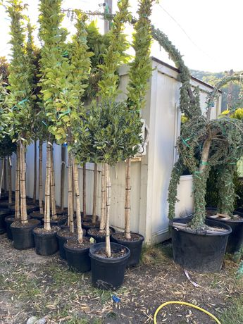 Magnolia alba superba grandiflora solangeana