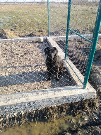 Femelă labrador cu pedigri