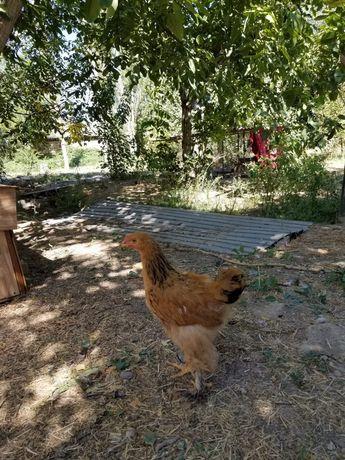 Куры, цыплята, тауыктар, шожелер.