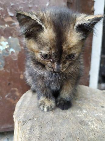 Дарю котёнка. Почти 2 месяца. Шустрый, не шумный. Мама трехцветная.