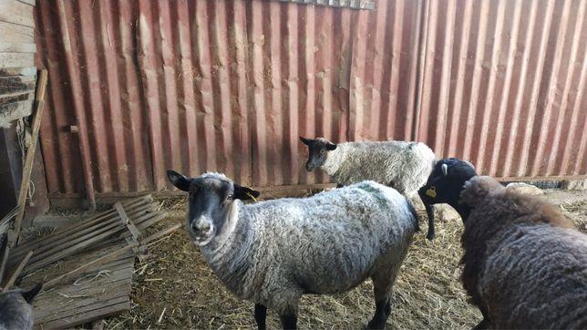 Овцы романской породы