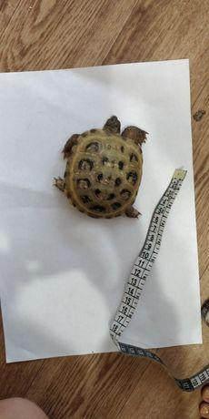 Продам черепаху сухопутную