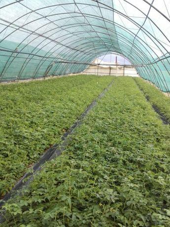 Разсад етеричномаслени растения - роза дамасцена, розмарин