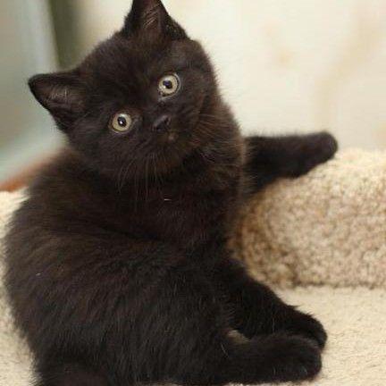 Британские котята с окрасом гаванна табби (тёмный шоколад)