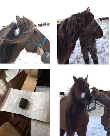 """Спутниковый Gps для Лошадей """"SPOT"""""""