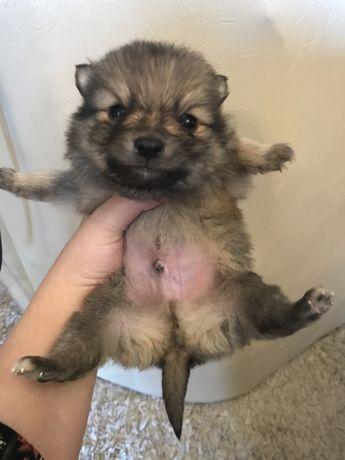 Pomeranian tip Boo Minion