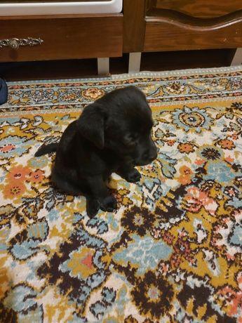 Щенок лабрадора, сука, возраст 1 месяц.